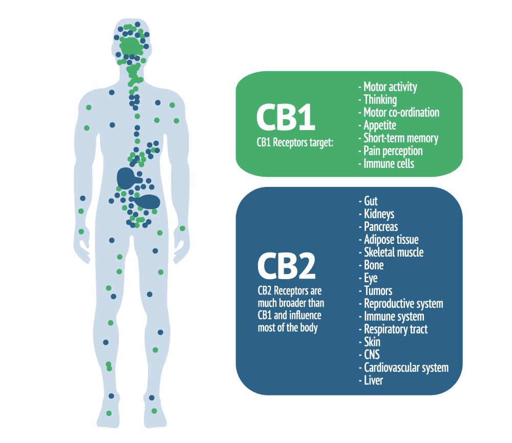 The Endocannabinoid System and CB1 and CB2 receptors