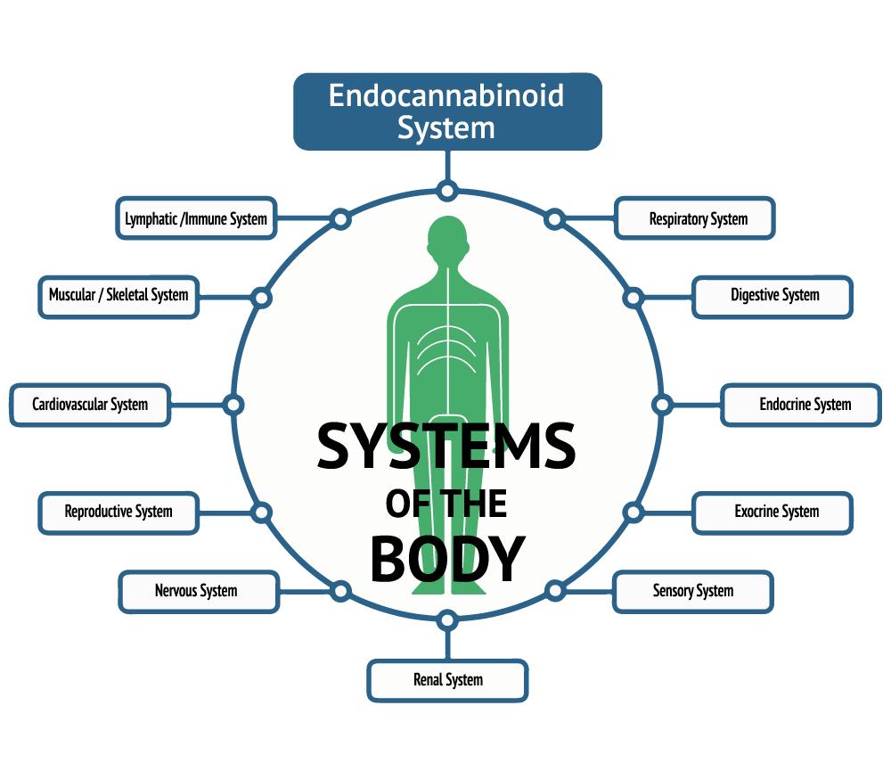 Homeostasis and the ECS